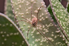 Brown harvestman (Opiliones) found on a green leaf Stock Photography
