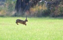 Brown-Hase springt in das Gras Lizenzfreie Stockfotografie