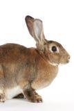 Brown-Hasen Stockbilder