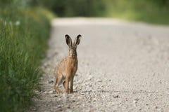 Brown-Hasen auf einer Straße Lizenzfreie Stockbilder