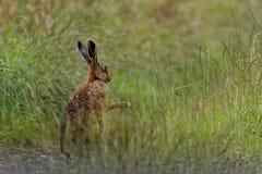 Brown-Hasen in der Wiese, Schattenboxen, machten vom Baden in der Pfütze nass Stockfotos