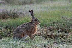 Brown-Hasen, die in der Wiese, Frühling sitzen Lizenzfreie Stockfotos