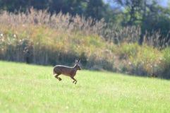 Brown-Hasen, die in die Luft springen Lizenzfreie Stockfotos
