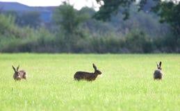 Brown-Hasen, die herum in Kreise laufen Lizenzfreie Stockfotos