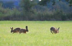 Brown-Hasen, die herum in Kreise laufen Lizenzfreies Stockfoto
