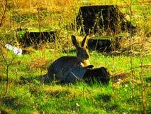 Brown-Hasen, die nahe Stümpfen sitzen Stockbild