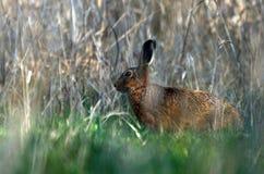 Brown-Hasen im Gras Stockbilder