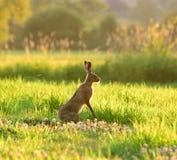 Brown-Hasen im Gras Stockbild