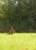 Brown-Hasen im Gras Stockfotografie