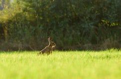 Brown-Hasen im Gras Lizenzfreie Stockbilder