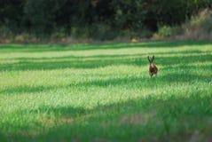 Brown-Hasen im Gras, das in Richtung auf die Kamera läuft Lizenzfreies Stockbild