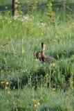 Brown-Hasen Lepus-Capensis europaeus lizenzfreie stockfotos