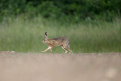 Brown-Hasen, Lepus europaeus Stockfoto