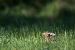 Brown-Hasen (Lepus europaeus) Lizenzfreie Stockbilder