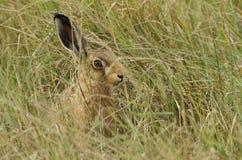 Brown-Hasen Lepus europaeus Häschen, das im Gras sich versteckt Lizenzfreie Stockfotos