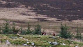 Brown-Hasen, Lepus europaeus, Sitzen, Reinigung innerhalb eines Schluchtschattenbildes gegen einen Berg stock video footage