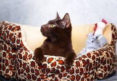 Brown Havana siamese cat Royalty Free Stock Image