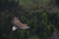 Brown Hawk Flying Above Green Trees Artwork Stock Photography