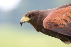 Brown Hawk on Focus Photo Royalty Free Stock Photos