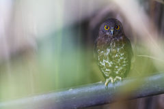 Brown Hawk Owl aka Brown Boobook. A beautiful Brown Boobook hiding inside the bush of Nipah Trees near Pulau Pinang, Malaysia Stock Photos