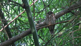 Brown Hawk-owl Brown BooBook Ninox scutulata Cute Birds of Thailand stock video footage