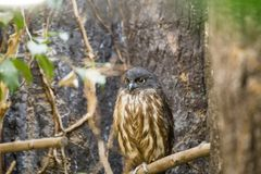 Brown Hawk-owl Ninox scutulata. Spotted outdoors in the wild Royalty Free Stock Photography