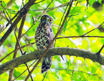 Brown Hawk-owl Stock Image
