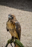 Brown Hawk on a post Royalty Free Stock Photos