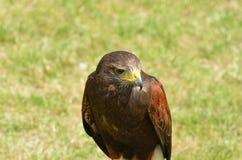 Brown Hawk standing Stock Images