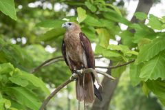 A brown hawk standing on tree. In forest Stock Images