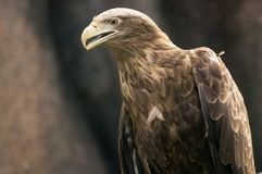 Hawk. Brown hawk at the sunny day Royalty Free Stock Photography