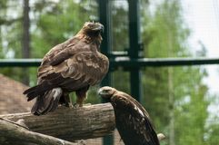 Hawk. Brown hawk at the sunny day Royalty Free Stock Photo