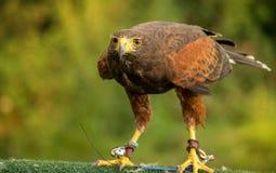 Brown Hawk Royalty Free Stock Image