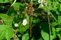 Brown hawker (Aeshna grandis). Large brown insect in the order Odonata, family Aeshnidae, at rest in a British woodland royalty free stock image