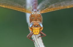 Brown Hawker Royalty Free Stock Image