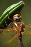 Brown Hawker Dragonfly Stock Image