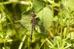 Brown Hawker Dragonfly on woodland vegetation Royalty Free Stock Photo