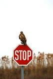 Brown hawn Stock Image