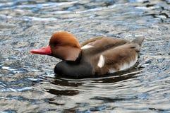 Brown Head Duck Stock Image
