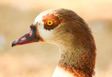 Brown head of Egyptian goose, closeup. Stock Photos