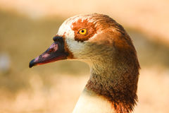 Brown head of Egyptian goose, closeup. Stock Images
