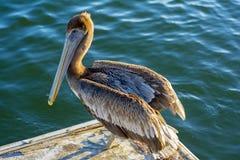 Brown  head pelican Royalty Free Stock Image