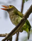 Brown-headed barbet Stock Photos