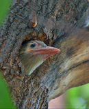 Brown-headed barbet. Juvenile brown-headed barbet looking out of her nest on tree royalty free stock photography