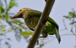The brown-headed barbet. Or large green barbet[2] Psilopogon zeylanicus is an Asian barbet. Barbets are a group of near passerine birds with a worldwide Royalty Free Stock Images