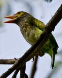 The brown-headed barbet. Or large green barbet[2] Psilopogon zeylanicus is an Asian barbet. Barbets are a group of near passerine birds with a worldwide Royalty Free Stock Photos