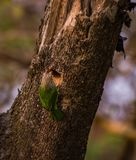 Brown headed Barbet in Making of nest. Making nest on tree at botanical garden, Howrah royalty free stock photo