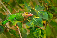 Brown-headed Barbet, Megalaima zeylanica, perched on branch. Close up vibrant green and brown and yellow blurred colourful backgro Royalty Free Stock Photo