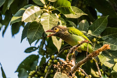 Brown headed barbet Stock Photo