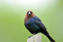 Brown-headed Cowbird. Staring directly at the camera Stock Photo